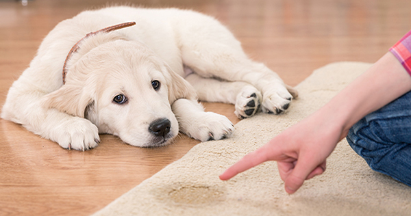 Pet Stain and Pet Odor Removal Services